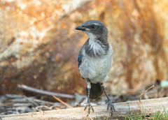 Young Jay (Rick Derevan) Tags: jay scrubjay californiascrubjay california bird blue aphelocomacalifornica