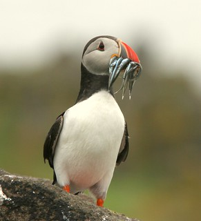 Atlantic Puffin..........Fratercula arctica