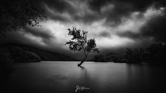 The lone Welsh Tree (jaygilmour11) Tags: wales llyn padarn tree lone leefilters clouds sky longexposure uk northwest nikon tamron leaves lake moody black white blackandwhite