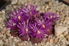 Gibbaeum pilosulum