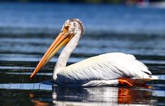 2017-06 Stephen Payne-70.jpg (Stephen_Payne) Tags: birds pelicans lakeofthewoods oregon othertags places lakes