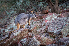 Yellow Footed Rock Wallaby (shashin62) Tags: australia southaustralia outback ranges flindersranges rawnsleypark arkaroola fauna marsupial wallaby yellowfootedrockwallaby