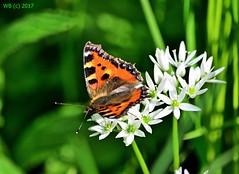 DSC_0310n wb (bwagnerfoto) Tags: kis rókalepke aglais urticae kleine fuchs small tortoiseshell lepke pillangó rovar macro closeup dof depthoffield butterfly schmetterling tagfalter insect
