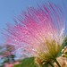 mimosa flower against sky