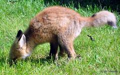 DSC_0749 (rachidH) Tags: fox renard vulpes foxcub renardeau redfox renardroux vulpesvulpes backyard frontyard wildlife sparta newjersey nj rachidh nature