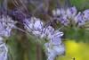 fleur (safrounet) Tags: fleur flower coquelicot papaverrhoeas digitale pondlaclakeétangobservatoirehidebleurougeblueredyellowjaunechampfielddigitalis luteadragonglypondlittle pond libellule
