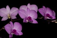 Dendrobium bigibbum (andreas lambrianides) Tags: dendrobiumbigibbum orchidaceae cooktownorchid threatenedspecies australiannativeorchids wildorchids wildflowers queenslandfloralemblem