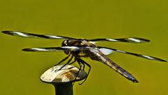 'Twelve Spot' Dragonfly (Bob's Digital Eye) Tags: bobsdigitaleye canon canonefs55250mmf456isstm depthoffield dragonfly flicker flickr insect macro odonata t3i twelvespotdragonfly