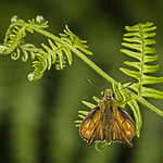 365-173 Large Skipper on Bracken thumbnail