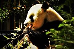 Wu Wen enjoying her Bamboo (JERRY TAHA PRODUCTIONS) Tags: wuwen panda pandabear pandabeer ouwehands ouwehandszoo ouwehandsdierenpark bamboe bamboo eating food china animal bear rhenen