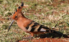 African Hoopoe (8) (Richard Collier - Wildlife and Travel Photography) Tags: wildlife naturalhistory africawildlife birds birdsafricabirds namibia african hoopoe africanhoopoe ngc npc naturethroughthelens