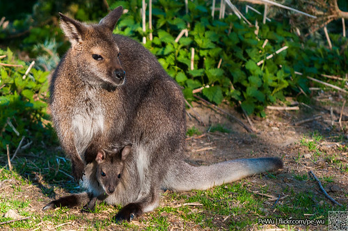 Kangaroo-mama with a little one