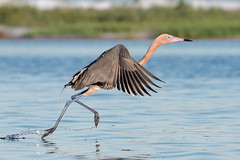 Runaway Reddish (Melissa James Photography) Tags: egrettarufescens reddishegret egret bird water running hunting outdoors wild life animal wader wadingbird nikond500
