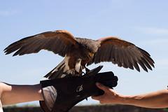 Volerie des aigles (meyer.morgane7) Tags: voleriedesaigles kintzheim alsace