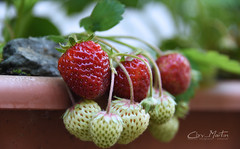 First Strawberries in Summer 2017 (Chry_Martin Varghese) Tags: strawberry strawberries fruits