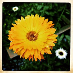Yellow. #Nyc #bigapple #newyork #tourist #roadtrip #iPhone #iPhonemacro #macro  #flower #flowersofinstagram #iPhone365 #iphoneography (Kindle Girl) Tags: roadtrip iphone365 iphoneography nyc bigapple newyork tourist iphone iphonemacro macro flower flowersofinstagram