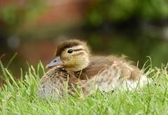 Mandarin duckling (PhotoLoonie) Tags: mandarinduck duckling wildlife nature