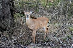Curious Deer (dzmears) Tags: deer animal mammal tree trees forest