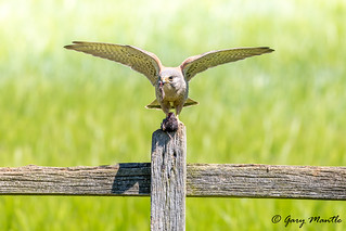 Kestrel (male) - Falco tinnunculus