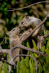 Squirrels Smooch (Michael Bateman) Tags: bateman michael photography wildlife sandiego california unitedstates us