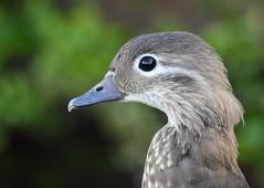 Mandarin duck (female) (PhotoLoonie) Tags: mandarinduck duck wildlife nature portrait closeup