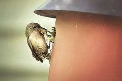 :: dinner time :: (mjcollins photography) Tags: wren bird mom mother mama babies house feed feeding eat