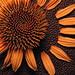 He Loves Me -He Loves Me Not (Caroline.32) Tags: broken flower coneflower echinacea macro canon canonpowershotsx530 closeupfilter4 petals macromondays leather