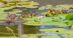 Now the work Begines. (Omygodtom) Tags: nature natural nikon nikkor bokeh bird duck mallard wild wildlife leica wet pond tannersprings d7100 dof nikon70300mmvrlens 9 work mother urbunnature usgs urban