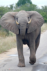 elephant (MiChaH) Tags: vakantie holiday southafrica zuidafrika krugerpark 2017 wildlife big5 gamedrive safari