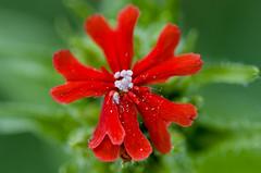 (ErrorByPixel) Tags: flower closeup macro 100mm handheld green red flora nature pentax k5 errorbypixel pentaxart blur