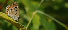 capo indiano... (andrea.zanaboni) Tags: farfalla butterfly nikon macro colori colors dipinta estate summer insetti insects ngc