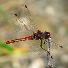 Red dragonfly (Reva G) Tags: dragonfly insect red fly wings lostlagoon stanleypark vancouver life bug