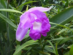 Sobralia macrantha 'splendens' (Linda DV (away)) Tags: lindadevolder plantentuin nationalbotanicgardenofbelgium 2017 nature geotagged garden belgium meiseplantentuin meise panasonic lumix ribbet sobralia orchidaceae asparagales