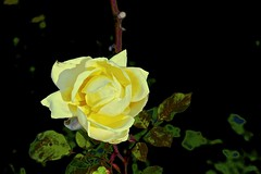 Winter Rose! (maginoz1) Tags: abstract art flowers foliage curves manipulate alisterclarkmemorialgarden bulla victoria australia winter june 2017 canon g3x