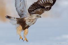 Pretty but deadly.. (Earl Reinink) Tags: hawk raptor claws talons winter bif roughleggedhawk earl reinink earlreinink niagara nikon ttzdraudoa