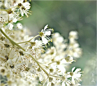 Meadowsweet - a Strewing Herb
