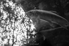 _DSF4050_ORIGINAL-FORMAT (izumi masakazu) Tags: monochrome streetsnap fish bubble water reflection 魚 泡 水 反射