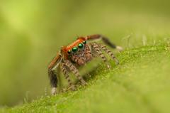 MMB_3449T (mmariomm) Tags: saitis barbipes jumping spider salticidae spain mediterranean green eyes jumper male