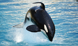 The best orca ! ♥