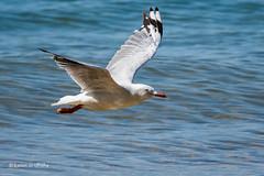 Silver Gull D50_7040.jpg (Mobile Lynn) Tags: birds wild silvergull gull nature bird charadriiformes chroicocephalusnovaehollandiae coastal fauna gulls laridae wildlife cowes victoria australia au
