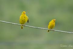 _DJA0697 (Dijalma Cruz) Tags: bird birds brazil natureza naturephotography canarios canario da terra