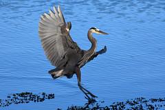 20170621 Oak Bay Heron (Robert Harwood) Tags: nikon d7500 heron oakbay britishcolumbia victoria canada greatblueheron blue