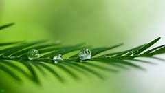 Pearls (YᗩSᗰIᘉᗴ HᗴᘉS +6 500 000 thx❀) Tags: pearls water canon drops drop droplet green nature macro hens 3243 hensyasmine