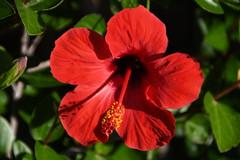 Hibiscus, Menorca (petrk747) Tags: menorca mediterraneansea balearicislands flora flower nature traveling outdoor coast coastline seacoast cliff coth5 saariysqualitypictures