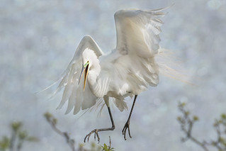 Great White Egret - Sky Dancer #4