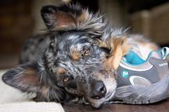 25/52 Weeks of Finn (Raquel Robison) Tags: 52weeksfordogs finn texasheeler challenge shoes dogs