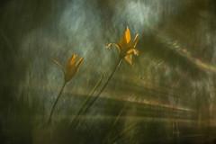 DSC_4033-2-1 (melnikovee) Tags: flower tulip art macro helios sunlight nature wildlife