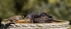 1C8A1324 (Stu thatcher) Tags: bird uk water bath fast shutter speed birds wet splash britain england english worcester worcestershire