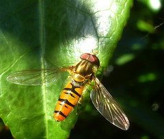 Marmalade hoverfly (Durley Beachbum) Tags: odc episyrphusbalteatus hoverfly insect july bournemouth