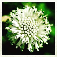 The small explosion. #florida #family #holiday #iphone #iPhone365 #iPhoneography #iPhone7plus #iPhonemacro #macro  #flower #flowersofinstagram (Kindle Girl) Tags: iphone7plus florida family holiday iphone iphone365 iphoneography iphonemacro macro flower flowersofinstagram
